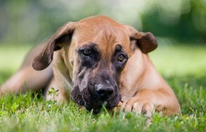 Boerboel Eating