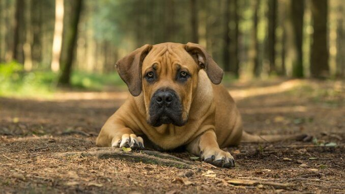 Boerboel Feature
