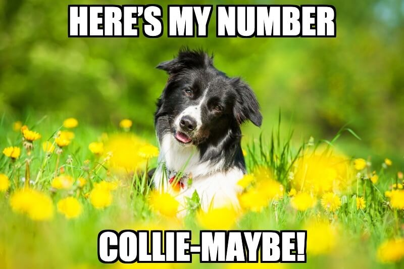 Border Collie Dog Joke