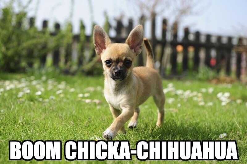 Chihuahua Dog Meme