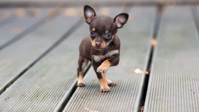 Chihuahua Names Feature