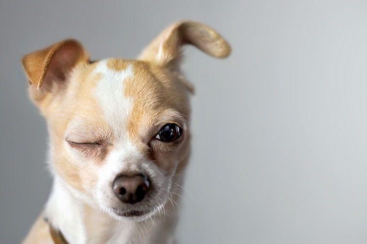 Chihuahua Winking