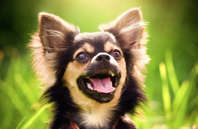 Funny Chihuahua Names