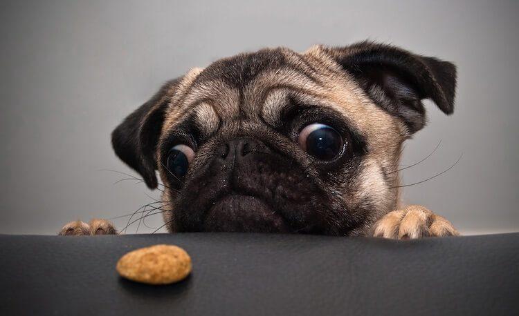 Funny Pug Face