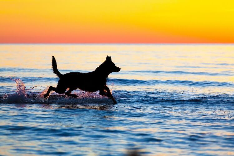 German Shepherd Swimming in the Ocean