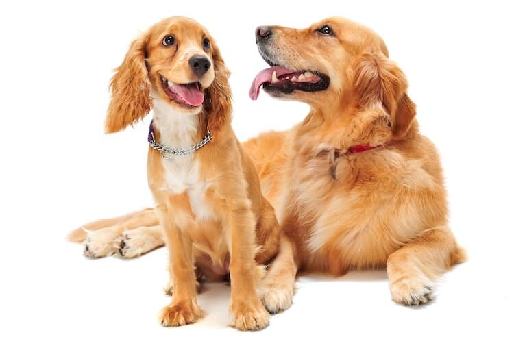 Golden Retriever and Cocker Spaniel Dogs
