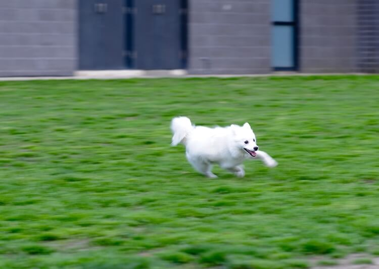 Japanese Spitz Dog Running