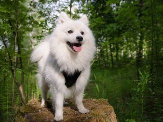 Japanese Spitz Feature
