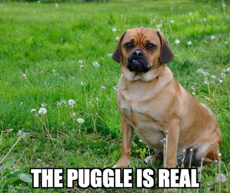 Joke About Puggles