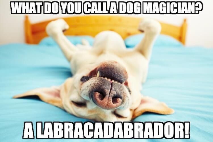 Labrador Dog Meme