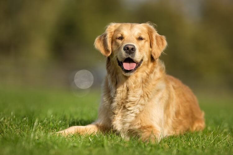 Male Golden Retriever Names
