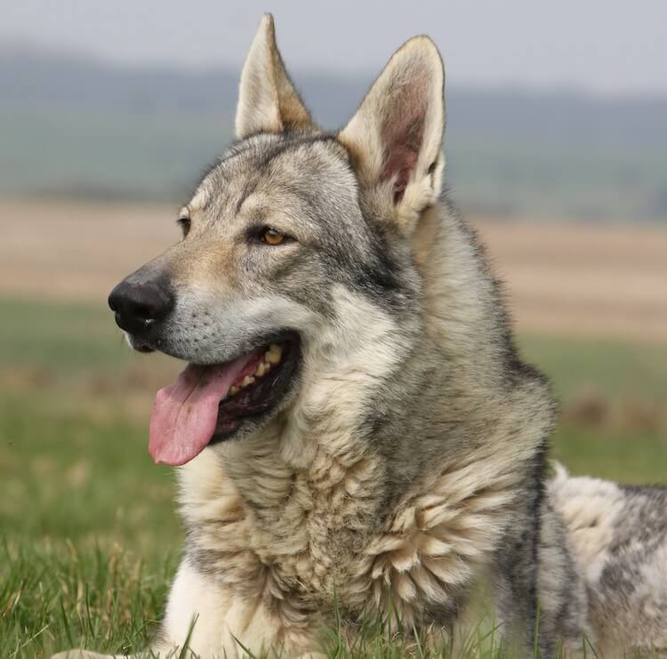 Native American Indian Dog Appearance