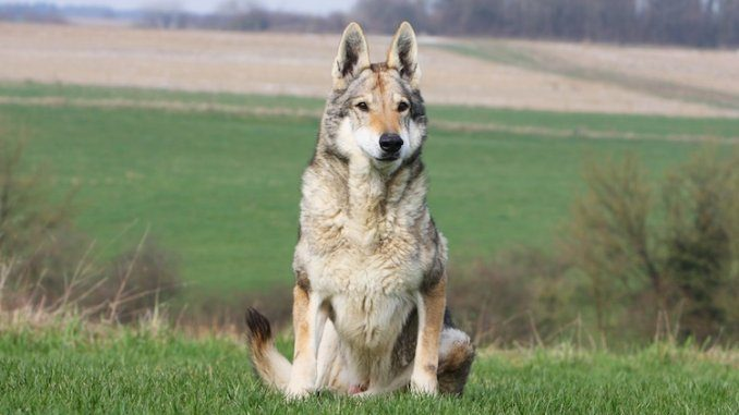Native American Indian Dog Feature