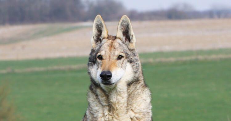 Native American Indian Dog Portrait