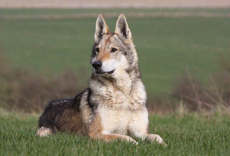 Native American Indian Dog Sitting