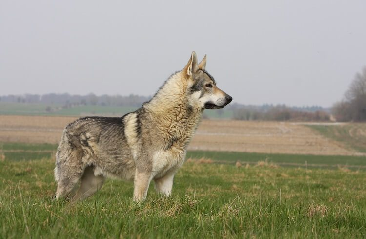 Native American Indian Dog Standing