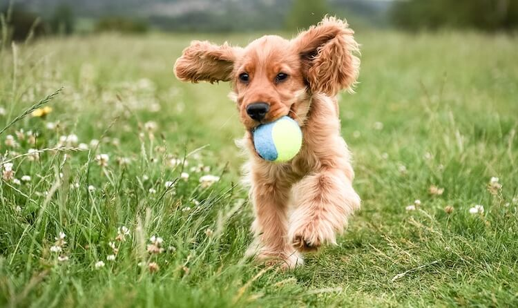 Playing With A Golden Cocker Retriever
