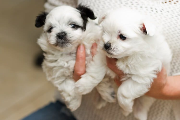Pomapoo Puppies