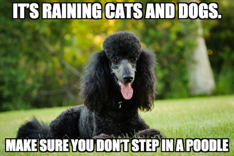 Poodle Dog Meme
