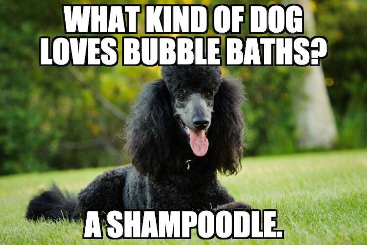 Shampoodle Meme