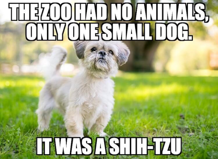 Shih Tzu Dog Pun