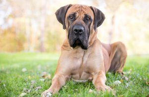 South African Mastiff Dog Lying Down