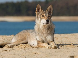 Tamaskan Dog Feature