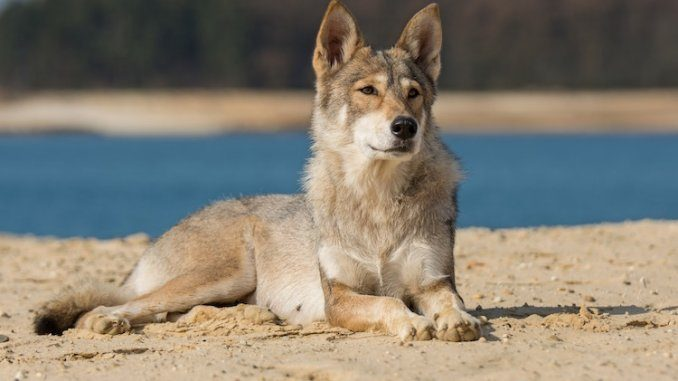 Tamaskan Dog Feature