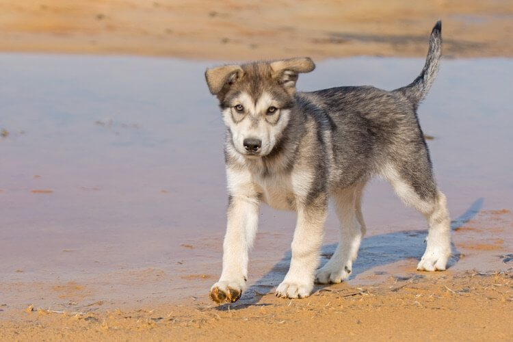 Tamaskan Puppy