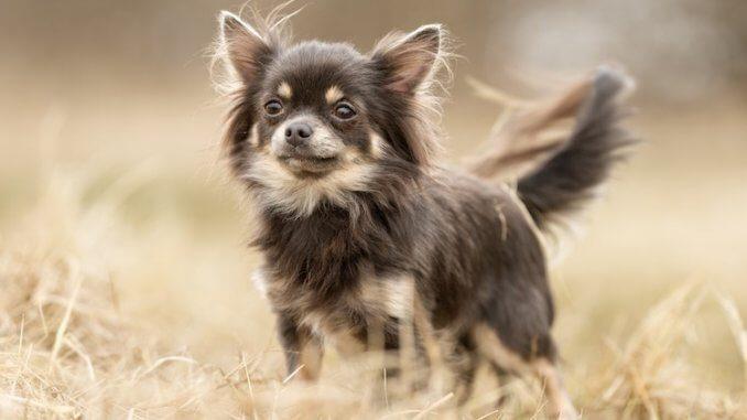 Teacup Dogs Feature