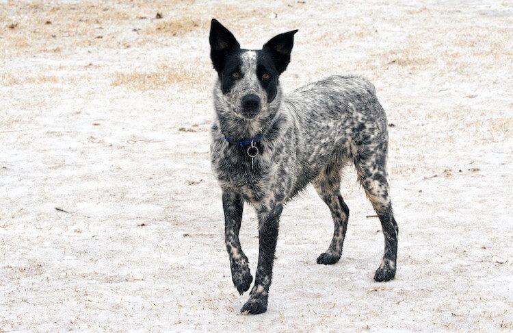 Texas Heeler Dog