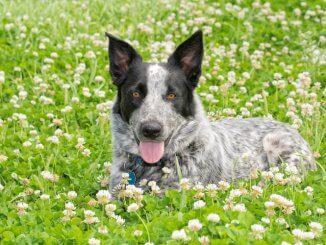 Texas Heeler Feature