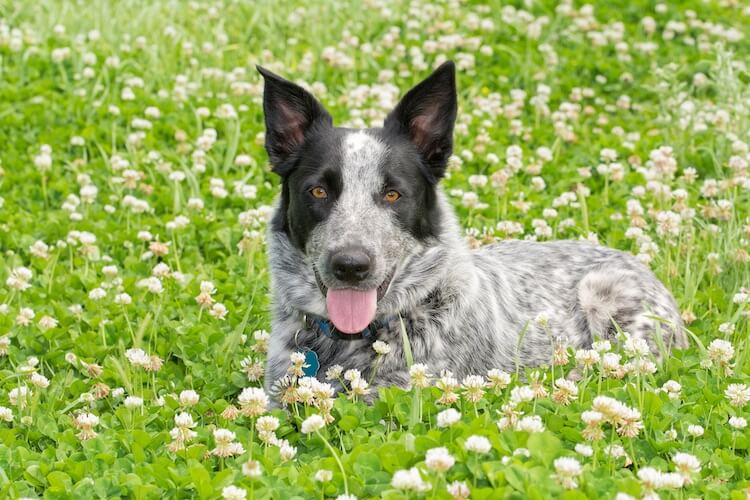 Texas Heeler: 14 Facts You Never Knew About The Texas Cattle