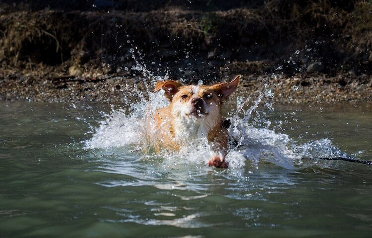 Texas Heeler Swimming