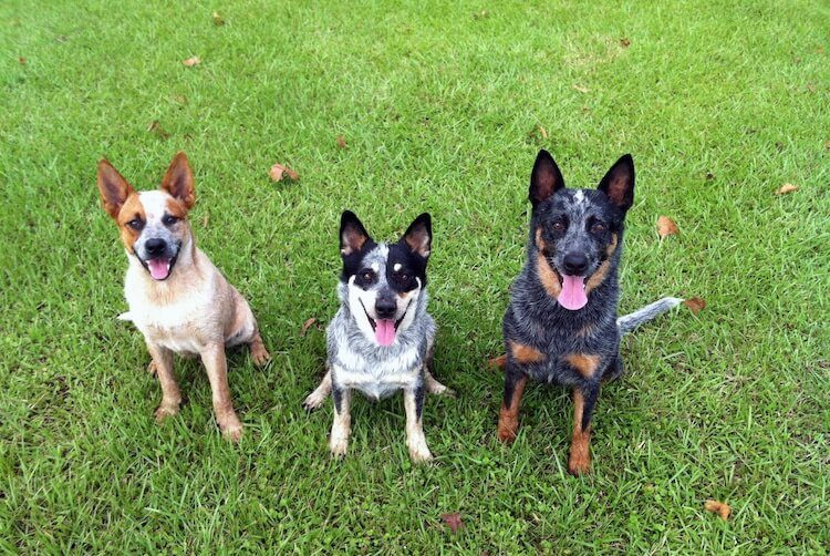 Three Heeler Dogs