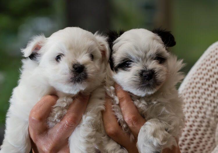 Two Pomapoo Puppies