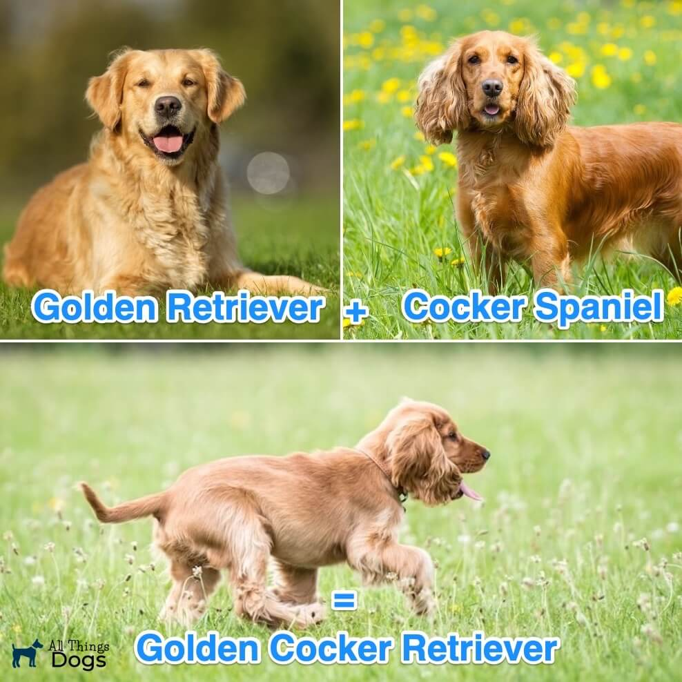 What Is A Golden Cocker Retriever?