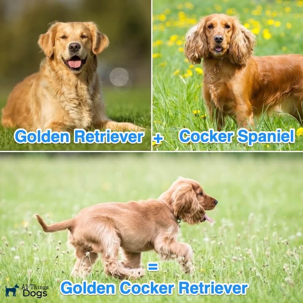What Is A Golden Cocker Retriever?