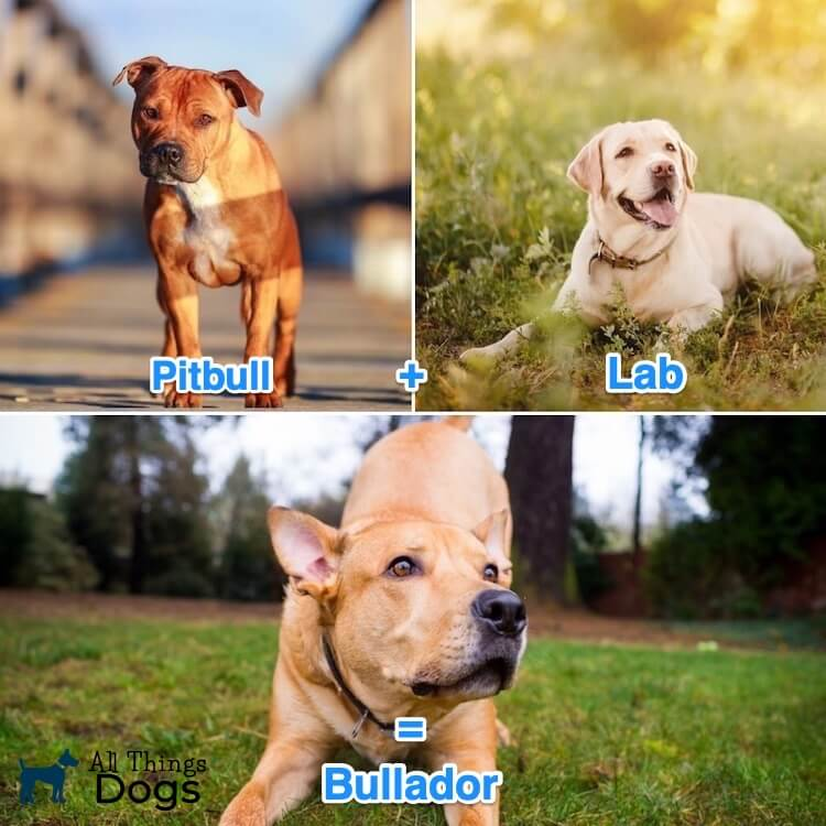 What is a Pitbull Lab Mix