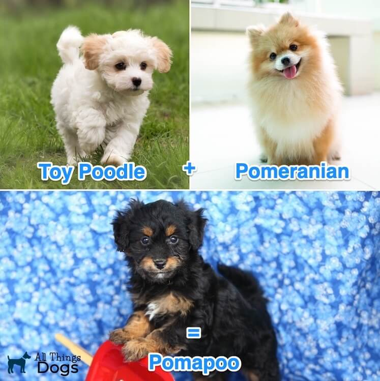 The Pomapoo An Ultimate Guide To The Playful Pomeranian