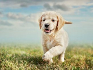 Yellow Lab Names Feature