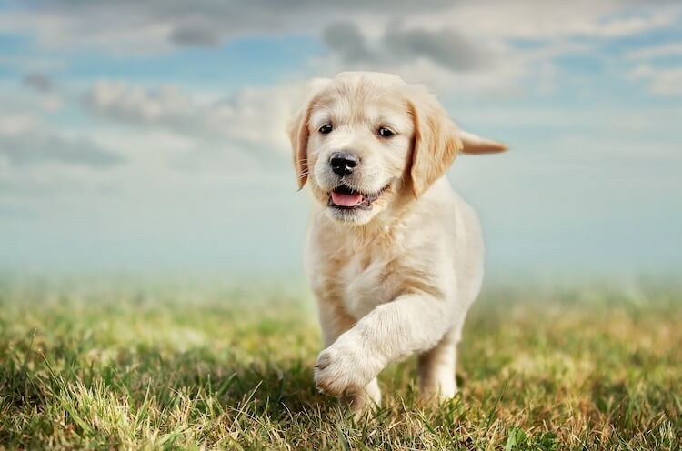 Yellow Lab Names 180 Best We