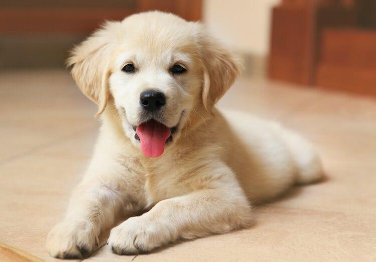 Yellow Lab Puppy