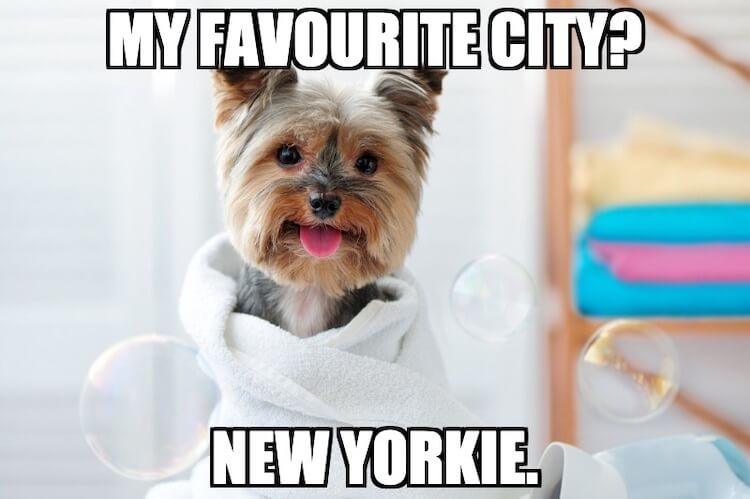 Yorkie Dog Meme