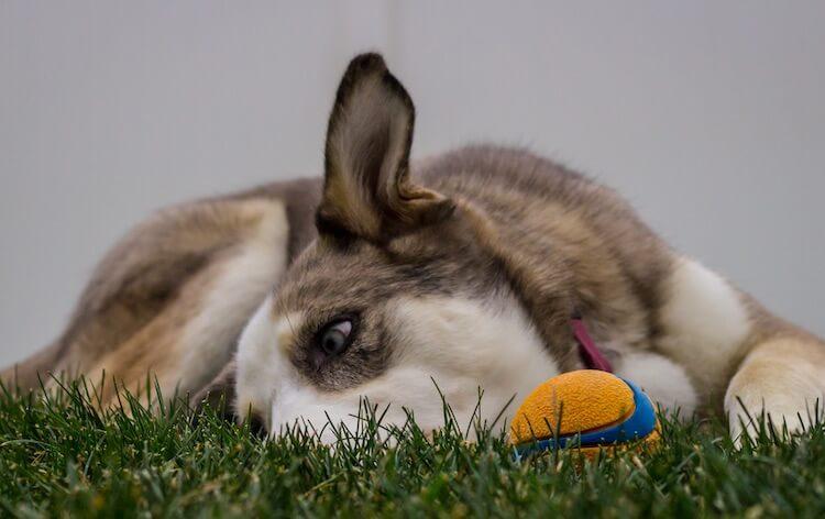 Aussie Siberian Dog