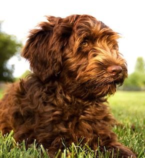 Hypoallergenic Dogs: A-Z List of 30 Family Dogs That Don't Shed