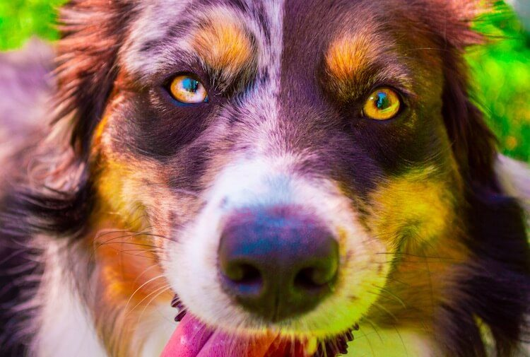 Australian Shepherd Border Collie Mix Feature