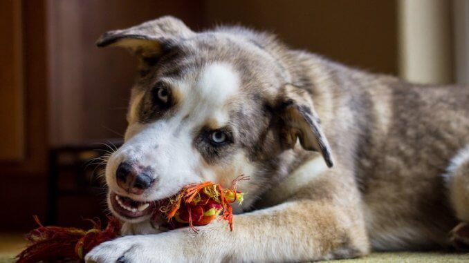 Australian Shepherd Husky Mix Feature