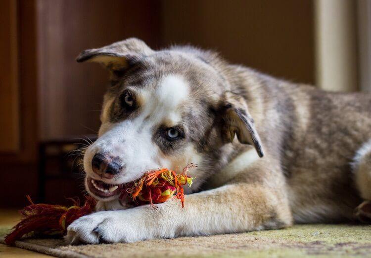 Australian Shepherd Husky Mix Feature