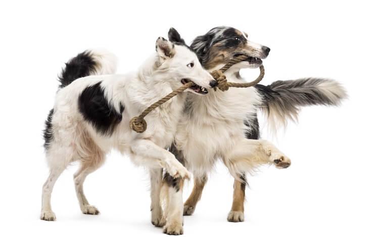 Australian Shepherd and Border Collie Dogs